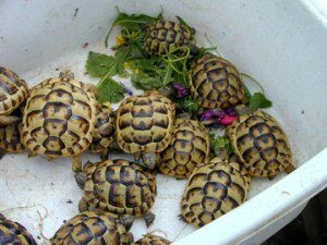 Russian Tortoise Care guide sheet