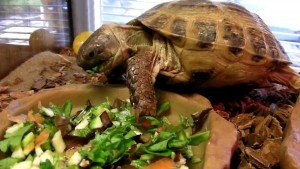 Russian Tortoise eating his food