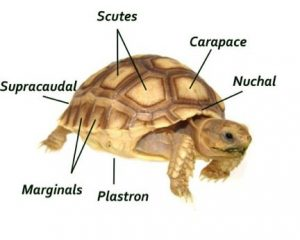 Russian Tortoise Parts genus and biology