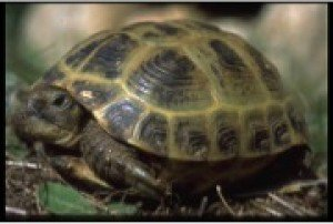 Russian tortoise Facts and Genus