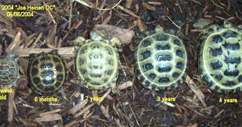 Russian Tortoise Old Photo