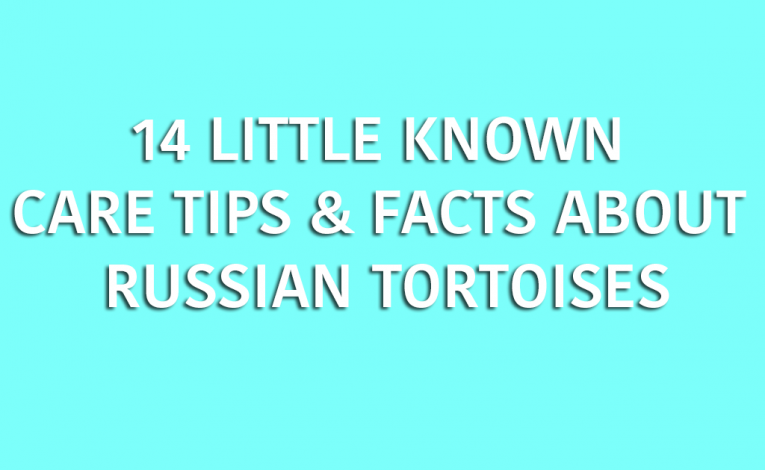 14-little-known-care-tips-facts-about-russian-tortoises