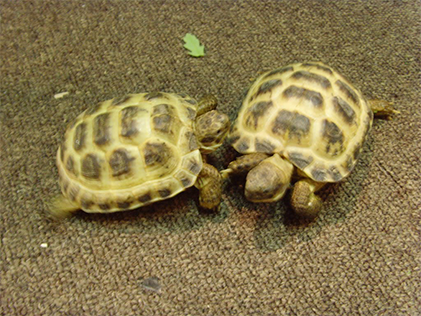 Image of 2 juvenile russian tortoises playing
