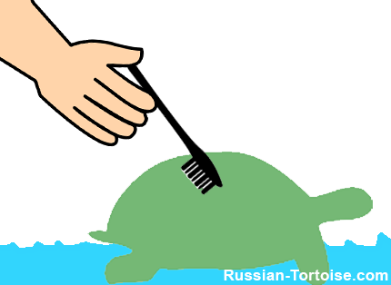 clean Russian tortoises shell with brush & water