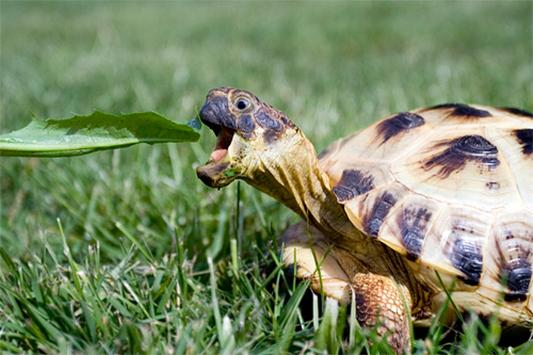 funny horsefield tortoise eating