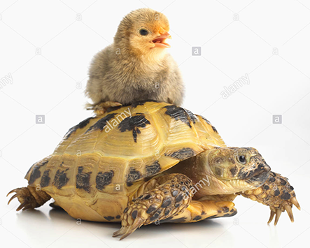 funny picture of a russian tortoise