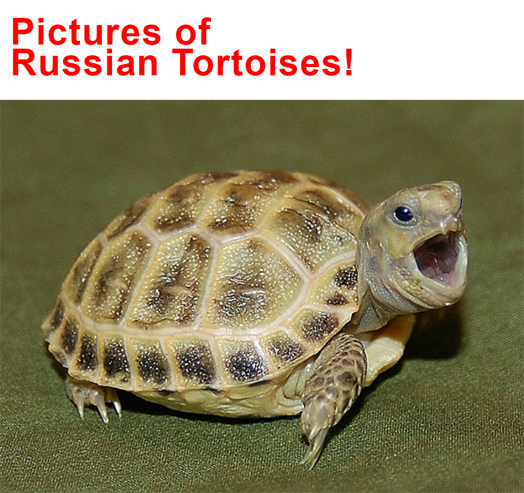 pictures of russian tortoises!