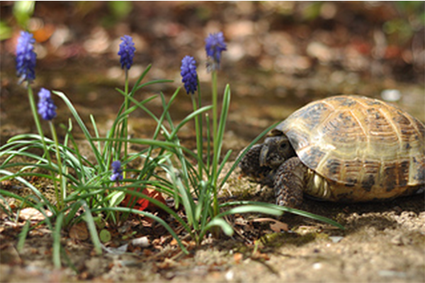 Russian tortoise and flowers