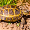 Russian tortoise in the yard eating