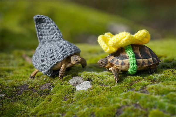 Russian tortoise wearing costumes