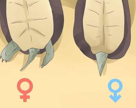 How To Tell Between Male & Female Russian Tortoise Sexes