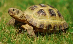 Russian Tortoise Care Guide 2019 [Free Download]
