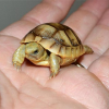 baby russian in the palm of a hand!