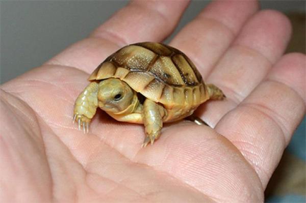 Premium Russian Tortoises For Sale -