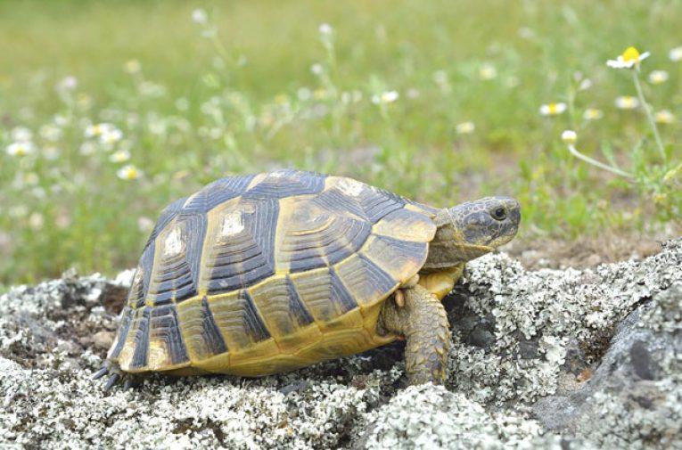 Greek VS Russian Tortoise