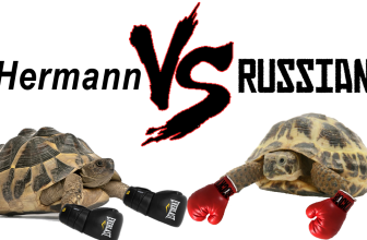 Hermann VS Russian Tortoise