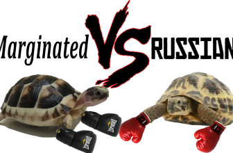 Marginated VS Russian Tortoise