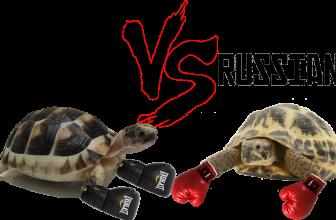 Marginated VS Russian Tortoise