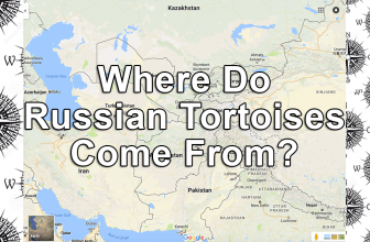 Where Do Russian Tortoises Come From?