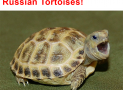 Pictures of Russian Tortoises